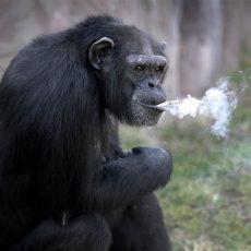 Шимпанзе и люди
