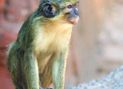 Зелёным мартышкам помогли придумать новое «слово»