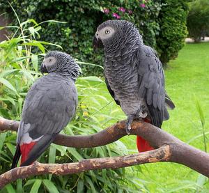 Альтруизм у попугаев