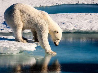 Риски исчезновения белых медведей