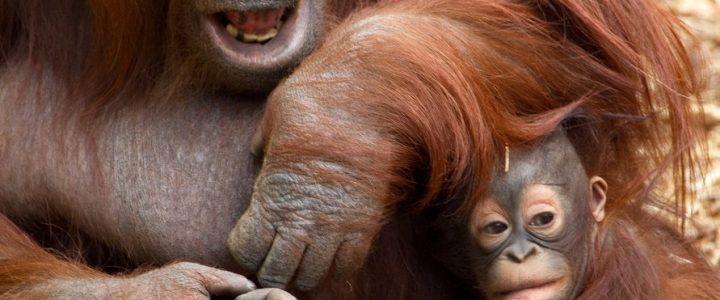 Орангутаны рассказывают друг другу о прошло