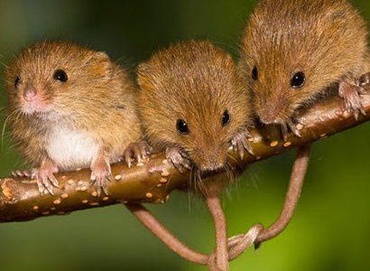 Мыши умнеют рядом с людьми