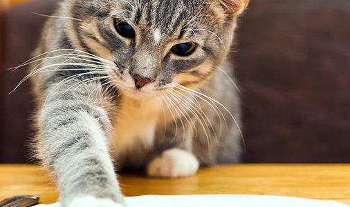 Домашние кошки обленились